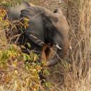 Elephant - Tongole Wilderness Lodge