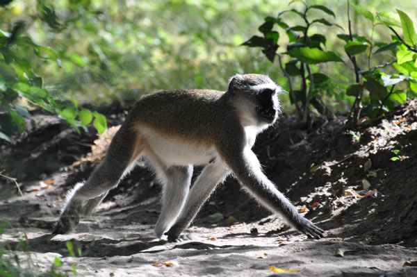 Animals Wilderness Safari - Tongole Wilderness Lodge